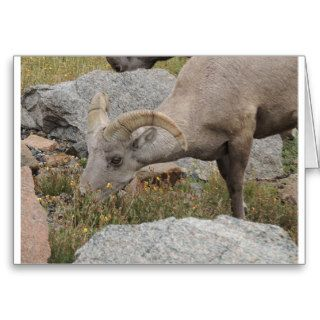 Rocky Mountain Big Horn Sheep Ram Greeting Cards