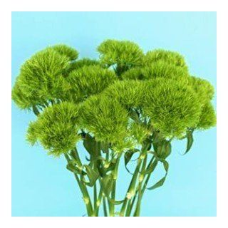 Ball Green 50 Flowers Bouquet Filler Wholesale Bulk  Fresh Cut Format Flowers
