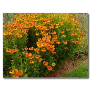 Orange Zinnia Flowers Post Card