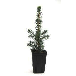 Evergreen Nursery Black Hills Spruce Potted Evergreen Tree SPRBLHQTS