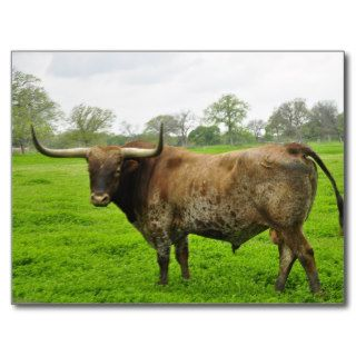 Texas Burnt Orange Longhorn Steer Post Card