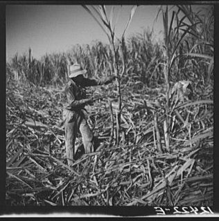 Photo Cutting sugar cane. Near Ponce, Puerto Rico 1   Prints